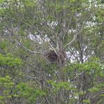 チョウゲンボの巣