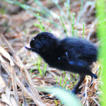ヒクイナ幼鳥