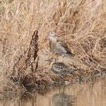 エリマキシギ幼鳥(奥雄手前雌)