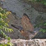H23幼鳥