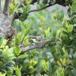 シジュウガラ幼鳥