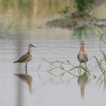 エリマキシギ幼鳥(左雌右雄)