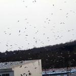 カモメ類の群れ