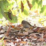 ニシオジロビタキ幼鳥