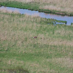 釧路湿原のエゾシカ