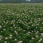 原料のジャガイモ畑