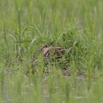 タマシギ抱卵中雄
