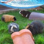 Wuselschweine ! Isi,Ika,Ice,Schoko