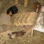 Nougat, Gismo, Schokini und Lissy