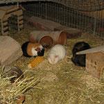 Zorro, Isa, Toffee