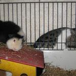 Hilfe, Digger gräbt einen Tunnel in unseren Käfig ! Bingo + Yanni