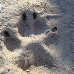 Meine Pfote im gefrorenem Sand !