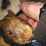 Eichhörnchen oder doch ein Meerschweinchen ??? Snickers