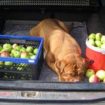 Yuma - müde vom Apfel hüten *g*!