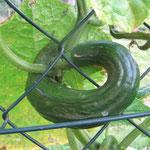 Schlange oder Gurke, das ist hier die Frage ?