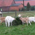 Weihnachts(baumfr)essen Jan.`16