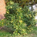 Unser Quittenbaum vor der Ernte von 265 Früchten !!!