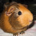 Notfallschweinchen Penny, April`16