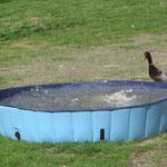 Ente auf Tauchstation !