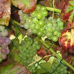 Unsere 1. eigenen Weintrauben im Sept.`15