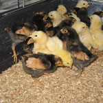 Vorwerk (schwarz-braun) + Lachshühner
