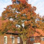 Unser Birnbaum im Herbst