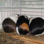 3 Fundschweinchen unter sich ! Hermine (2014), Coco (2015), Mausi (2011)