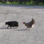 Hilfe, ich werde verfolgt ! Bea + Huhn