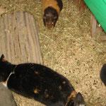 """Ein """"Riesenmeerschweinchen """" hat sich bei den Jungs eingeschlichen *g* !"""