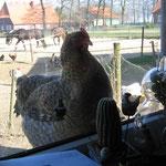 Laßt mich rein ! Bielefelder Kennhuhn hinter`m Küchenfenster