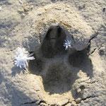 Meine Pfote im gefrorenen Sand !