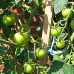 Unsere Tomaten wachsen....