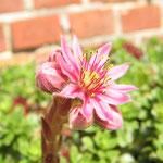 Blüte einer Fettpflanze, Sommer`14
