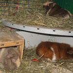 Siesta im Schweinestall ! Lissy, Gismo, Schokini