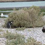 der Pinguin schützt sein Nest