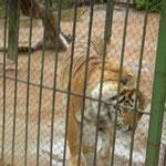 sibirischer Tiger