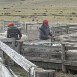 So werden de 10'000 Schafe sortiert