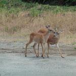 Wildtiere neben der Strasse angetroffen...
