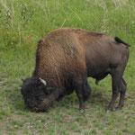 ein erster Bison als Vorhut