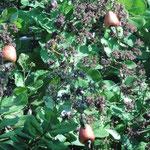 Cashew Nut Früchte am Baum