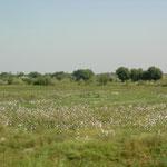 wir sehen die ersten Baumwollfelder