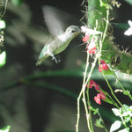 auch Kolibris ernähren sich von Kakteen