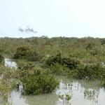 Mangrovenwald im salzigen Meer