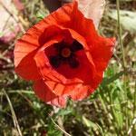 Mohnblumen - der Sommer kommt