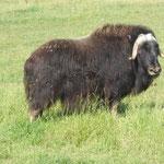 Moschusochsen - ihre Wolle soll 7 x wärmer sein als Schafswolle