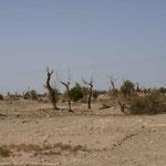 die Bäume werden 100 Jahre alt - das Holz braucht 1000 Jahre zum vermodern