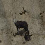 Wildtiere hoch oben in einer Felswand ...