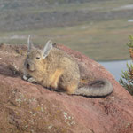 Viscacha in der Morgensonne