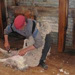 Eine Schafsschur dauert ca. 3 Minuten, die Wolle von 1 Schaf bringt gerade US$ 20.-