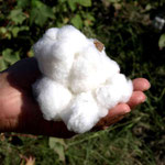 eine handvoll Baumwolle